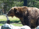 Grizzly beer in dierenpark